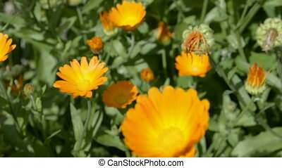 Calendula on garden