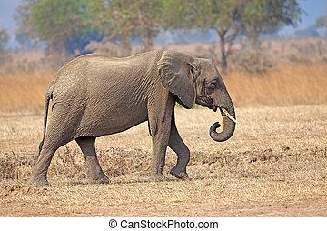 Wild Elephant in the Savannah in Mikumi, Tanzania