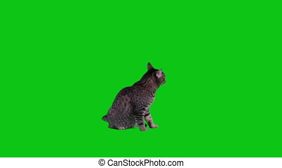Cat sitting on green screen and looking around