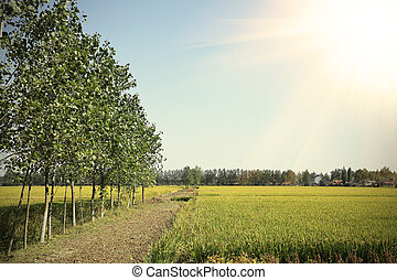 Golden rice is the growth of lush farmland in the woods edge...