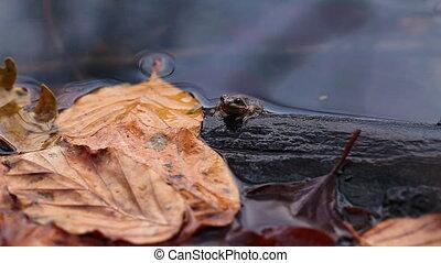Bog frog - Rana arvalis - Bog frog kitten sitting on a...