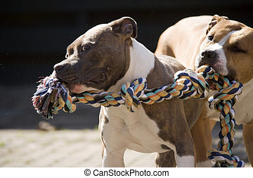 two beautiful dogs - Two american staffordshire terriers...