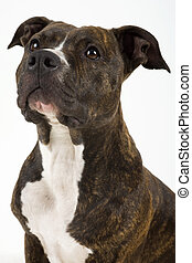 American staffordshire - Beautiful dog