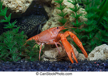 Red crawfish in aquarium - Red crayfish, Procambarus...