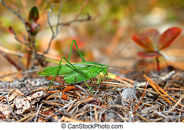 Fork-tailed Bush Katydid (Scudderia furcata) in the Northern...