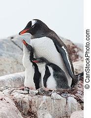 Gentoo penguin Pygoscelis papua family - Family Gentoo...