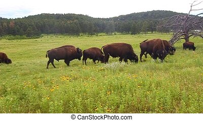 Bison at Custer State Park - Bison graze in a field of...