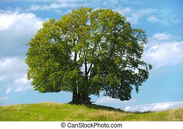 beech tree - single old beech tree in meadow at summer