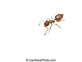 formigas, isolado, branca, fundo