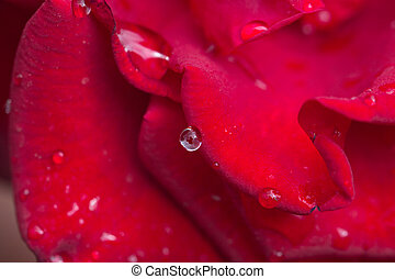 water drops on a red rose. macro