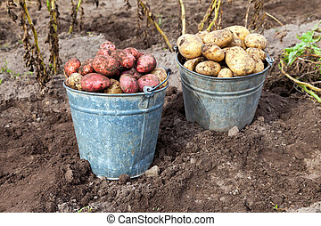 Harvesting potatoes - First harvest of organically grown new...
