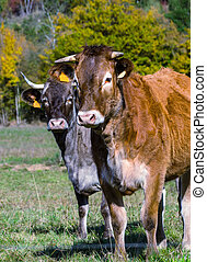 French cow on a meadow