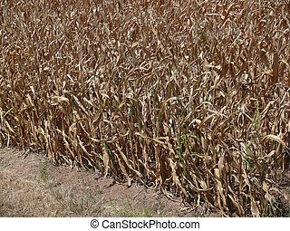 Corn Field and Drought