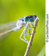 The Azure Damselfly close up - Close up of the Azure...