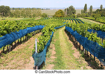 Burgenland, Austria - wine growing region by the Lake...