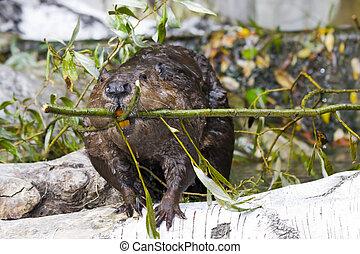 Eurasian beaver Castor fiber