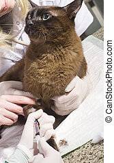 Veterinarian taking blood sample from cat in clinic