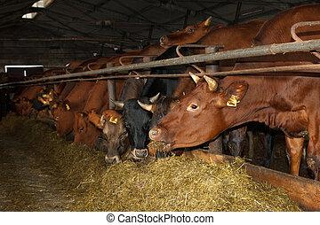 Cows feeding on a farm