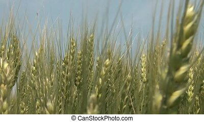 Golden Wheat Moving Closeup - Golden wheat gently moves back...