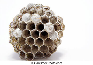 Wasps Nest - A paper wasps nest with live young inside combs...