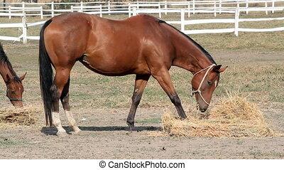 brown horse eat hay