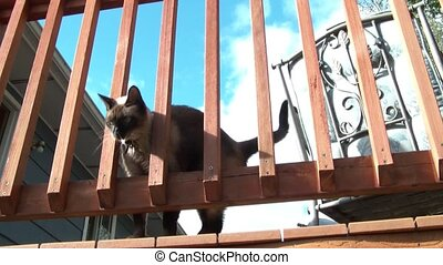 Siamese Cat Rubs Up Against Railing - Siamese cat rubs tail...