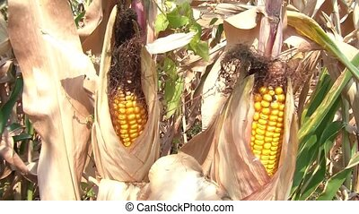 Corn in Husk During Drought - Two ears of yellow corn in...