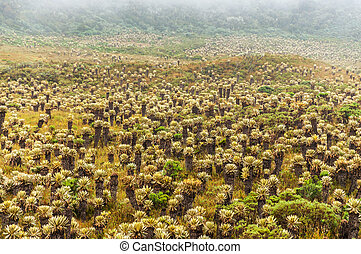 Frailejon Plants in Colombia - Frailejon plants in Paramo de...