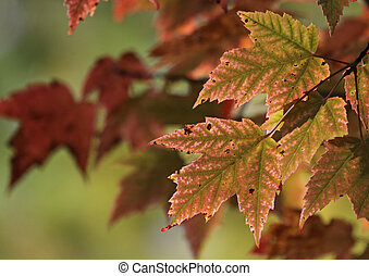 Pinkish Red Maple Leaves - The red leaves of a Maple tree...