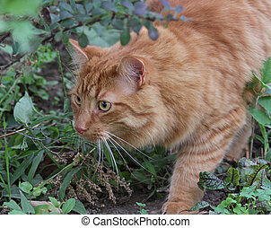 Stalking Tabby - A stalking tabby cat on the hunt for prey