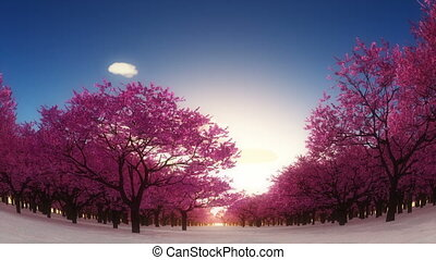 CHERRY TREES - blooming cherry trees