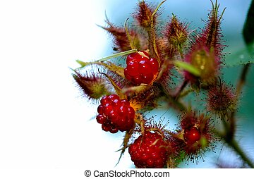 Red Raspberry - Fresh red Raspberries on the plant with...
