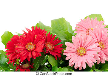African daisy plants - Red and pink african daisy flowers in...