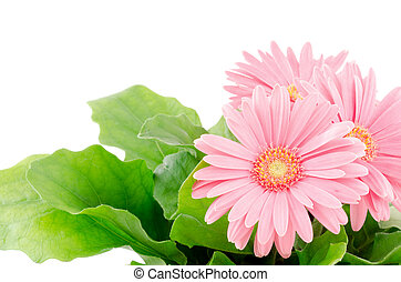 African daisy plant - Pink african daisy flowers in front of...