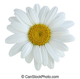 Daisy - Single daisy flower isolated on white background
