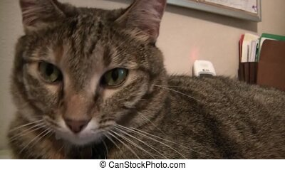 Green Eyed Cat Closeup - Clip close up of brown colored cat...