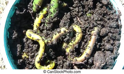 Green Worms in Sun Crawling - Brightly lit green worms...