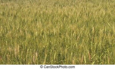 Green and Gold Wheat Gently Sways - Green and gold wheat...
