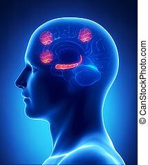 Hippocampusas, prefrontal, corteza, corteza, occipital,...