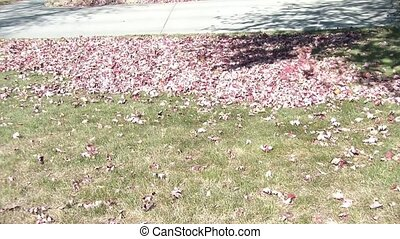 Man Blows Red Leaves in Fall Season - Man blows red leaves...