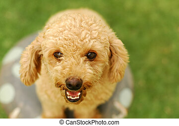 Happy poodle smiling on the camera. Shallow focus on the...