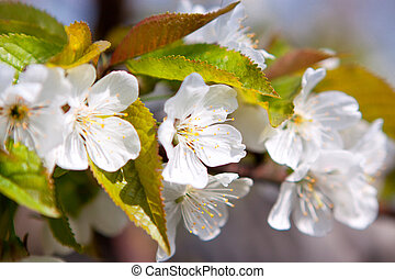 Branch of a blooming apricot