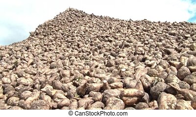 Mountain of Sugar - Small mountain of sugar beets panned...