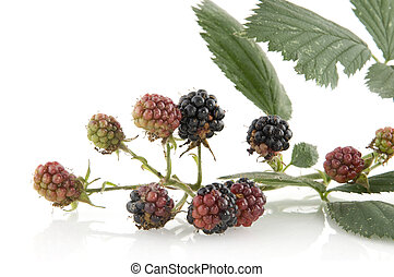 Blackberries at the bush