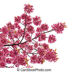isolated Spring cherry blossoms on white background
