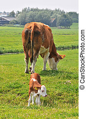 cow with calf - brown white cow with little calf