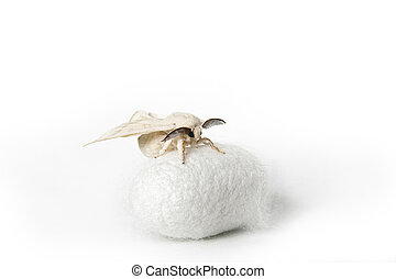 Silk Moth on Silk Cocoon against white background, copy...