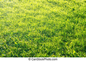 Grass in morninglight - Uncultivated moist grass in...