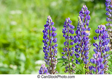field of lupine flowers