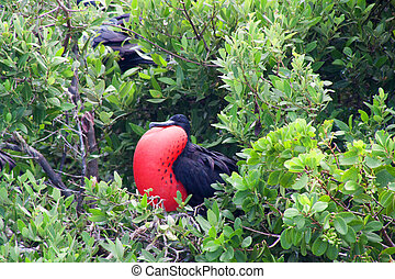 Magnificent Frigatebird Fregata magnificens in Barbudas,...